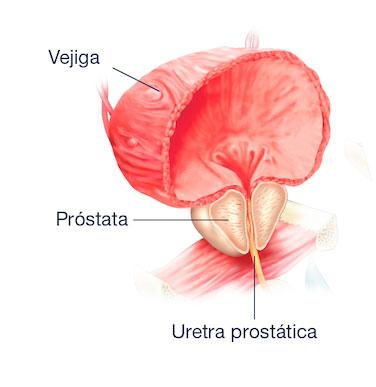 anatomia prostata rmn