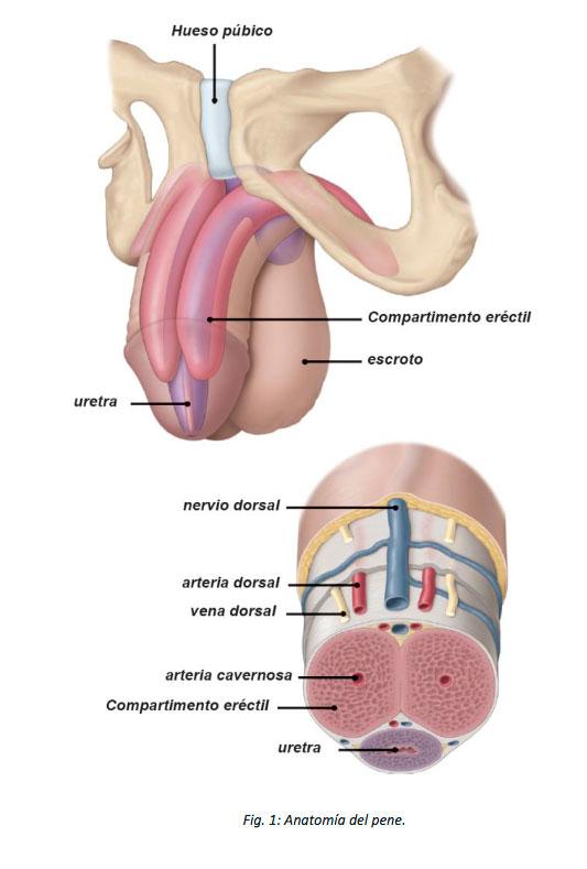 problemas de prostata y ereccion