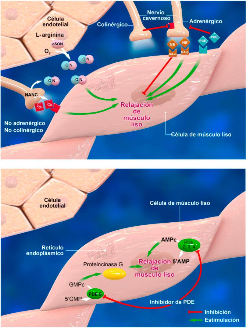 Disfunción-Erectil Fisiología de la erección y fisiopatología de la disfunción eréctil